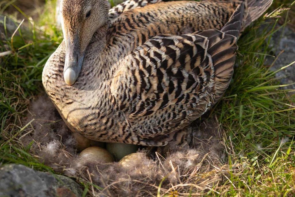 Eider duck sitting on nest